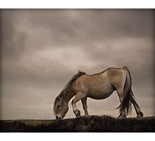 Fjord horse Photographic Print