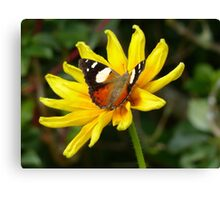Yellow Admiral Butterfly - NZ Canvas Print