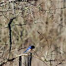 Bluebird of Mourning by Troy Spencer