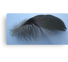 Muscovy feather Metal Print