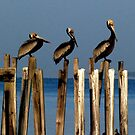 more pelicans in more places by Troy Spencer