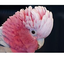 This Is Not My Cheeky Face Lol.. - Galah - NZ Photographic Print