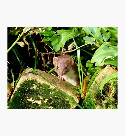 Ooowh!! I Don't Think I'm Welcome Here.. - Stoat - NZ Photographic Print