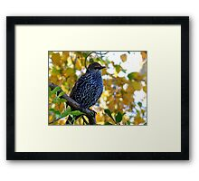 I Stand Out In Autumn Colours - Starling - NZ Framed Print