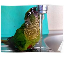 Bring It ON.... Maroon-Bellied Conure - CHC NZ Poster