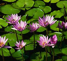 lillies in the water by greycloud