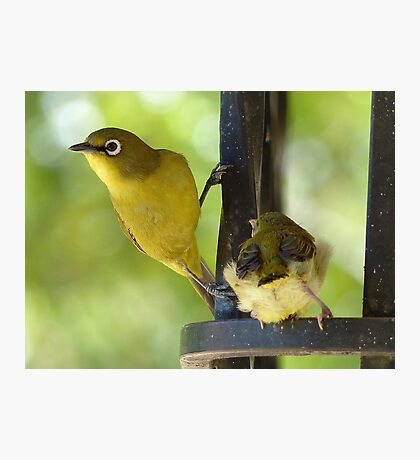 This Is My Child - Cape White Eye - South Africa Photographic Print