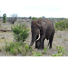 I Hear The African Continent - Elephant - Kruger National Park Photographic Print