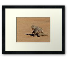 Aww... Aren't You Going To Share That!! - Banded Mongoose - Mabalingwe Nature Reserve Framed Print