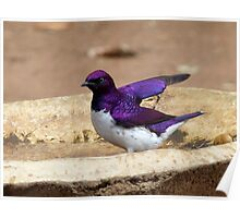 Nature Used Only The Best Paint - Violet-Backed Starling - SA Poster