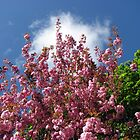 Blue Sky and Pink Blossoms by BlueMoonRose