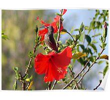 Hibiscus Heaven - Sunbird - SA Poster