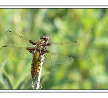 Female Broad Bodied Chaser by godders
