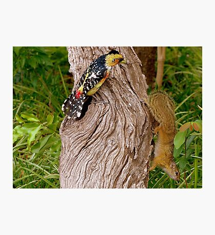 OUT Out!!... This Is My Cavety!...Crested Barbet & The Squirrell Photographic Print