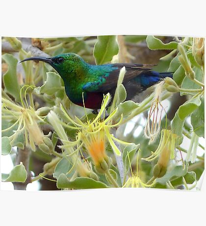A Sweet Treat - Red-Chested Sun-bird SA Poster