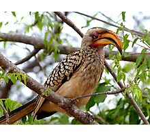 I'm Not Photogenic!! - Southern Yellow-Bill Hornbill - SA Photographic Print