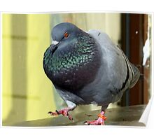 Rocky's Story - Rescued Rock Pigeon NZ Poster