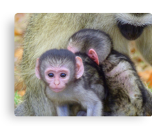 Say Cheeeeeezzz - Vervet Monkeys - SA Canvas Print