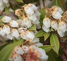 Spring Growth on Pieris by pat oubridge