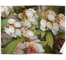 Spring Growth on Pieris Poster
