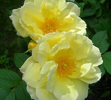 Two Yellow Roses by Kathleen Brant