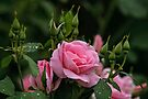 Pink Roses and Buds by Michael Cummings