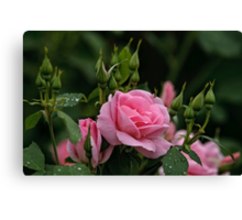 Pink Roses and Buds Canvas Print