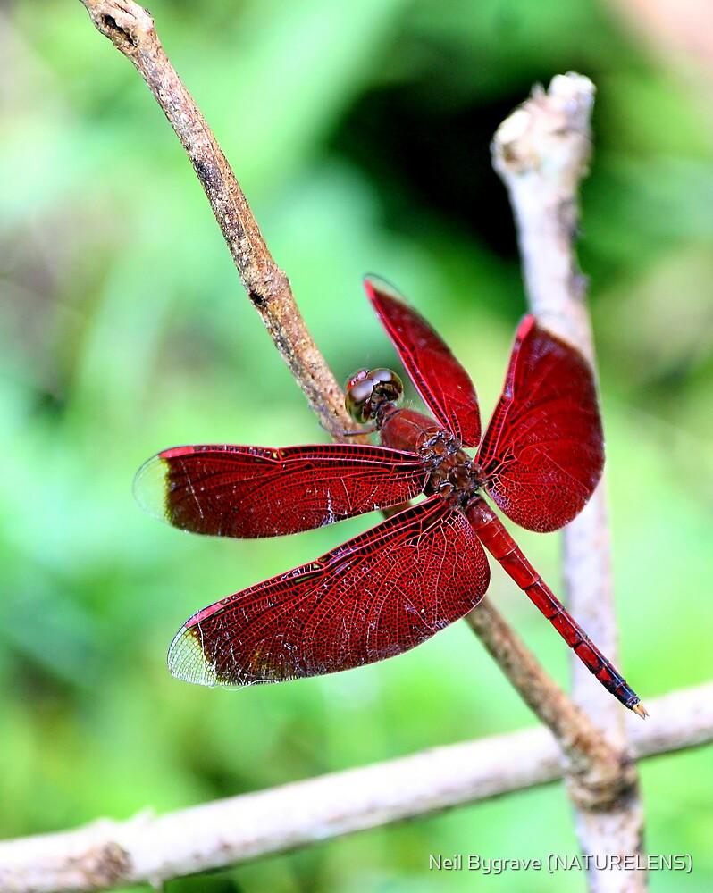 Grasshawk Dragonfly by Neil Bygrave (NATURELENS)