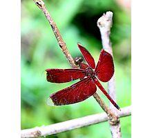 Grasshawk Dragonfly Photographic Print