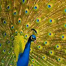 Peacock II by GlennRoger