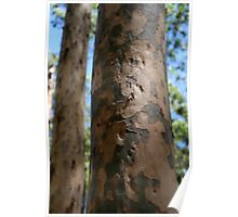 Eucalypt Bark Poster