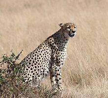 Cheetah, Maasai Mara, Kenya by Carole-Anne