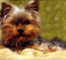 Yorkshire Terrier by Ryan Houston