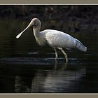 Spoonbill Feeding by ArtFotos
