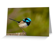 The Superb Fairywren (male) Greeting Card