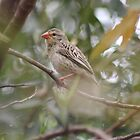 Red-billed quelea (Quelea quelea) by Maree  Clarkson