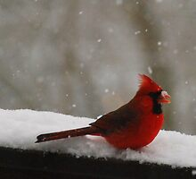 cardinal by ErinPhotography