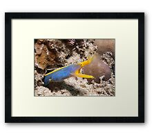 Blue Ribbon Eel, North Sulawesi, Indonesia Framed Print