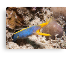 Blue Ribbon Eel, North Sulawesi, Indonesia Canvas Print
