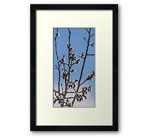 Pussy Willow 1 Framed Print
