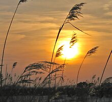 Phragmities at sunset by Lorale