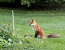 """It's tough to train a Fox to """"Sit"""" by wolftinz"""