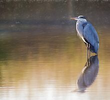 Grey Heron (Colour Pencil Effect) by shaftinaction