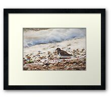 Turnstone (Colour Pencil Effect) Framed Print