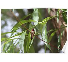 Ruby Throated Hunningbird perched on branch Poster