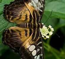 Butterfly II by Luke Haggis