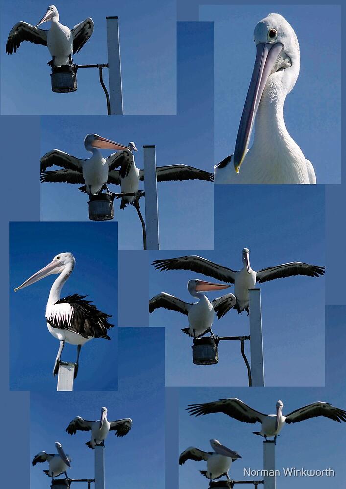 Pelicans at Harvey Bay  by Norman Winkworth