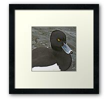A Tufted Duck Framed Print