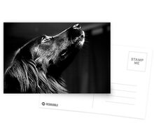 Molly The Proud Dog Postcards