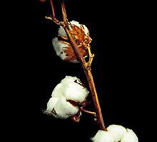 Cotton by jerry  alcantara
